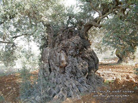 מודרניסטית חדשות - בארץ nrg -שיא בישראל: עץ זית בן 980, בהיקף 9 BG-55